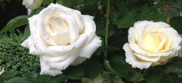 weiße-rose-mikroorganismen