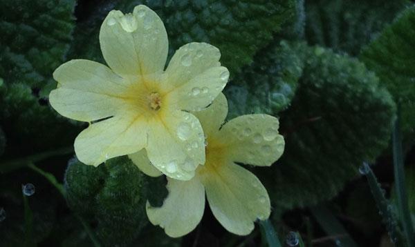 schluesselblumen